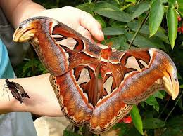 The incredible silent giant: The Atlas Moth